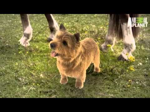 Dogs 101- Norwich Terrier