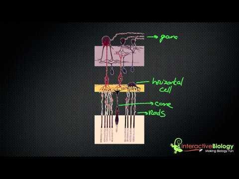 034 How Lateral Inhibition enhances Visual Edges