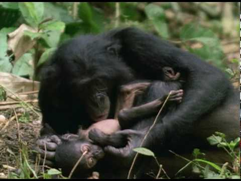 Bonobo: the Female Alpha