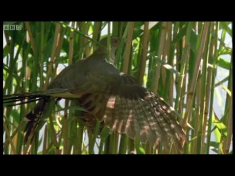 Cuckoo hijacks warbler nest - Natural World - BBC