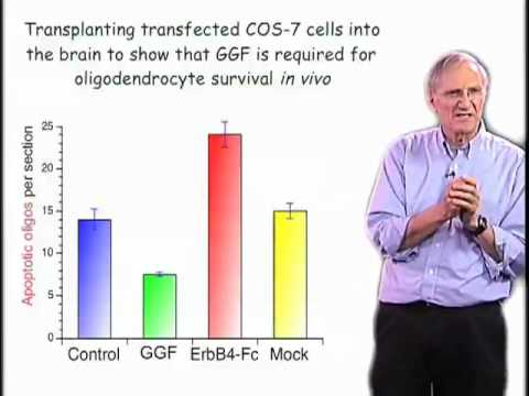 Martin Raff (UCL) Part 2: Cell Number Control