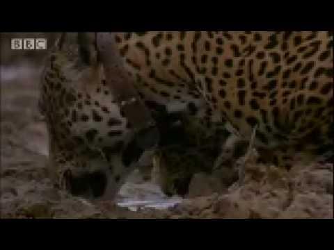 Jaguar mother and cubs in the wild -BBC Animals