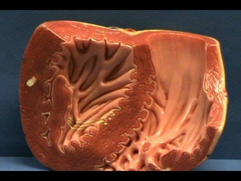 Heart Model II - Ventricles - Internal Anatomy