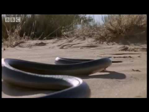 How snakes move & 'run' - Serpent - BBC Animals