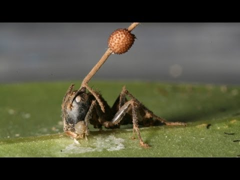 Science Bulletins: Fungus Brainwashed Ancient Ants