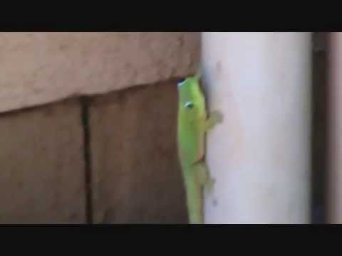 "Geico Gecko ""does"" exist"