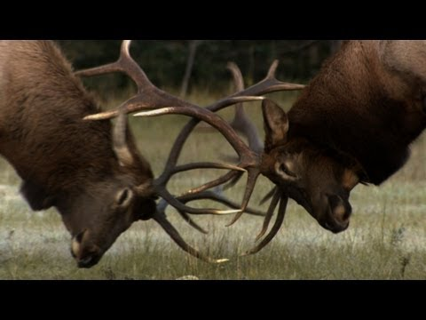 Untamed Americas - The Yearly Elk Brawl