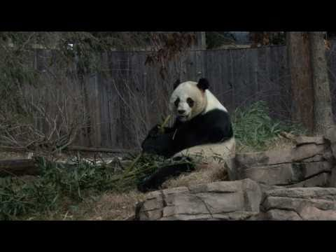 Giant Panda Mei Xiang's Artificial Insemination