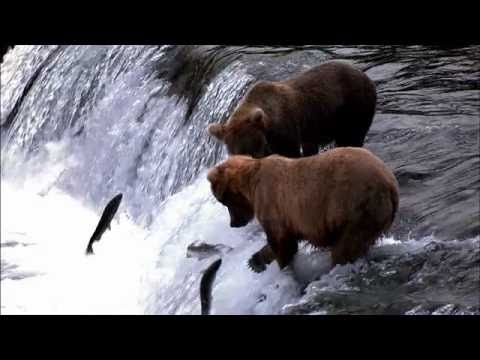NATURE | Salmon: Running the Gauntlet | Preview | PBS