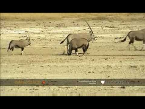 Oryx family heads to waterhole