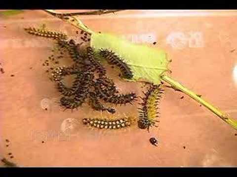 Nevada Buck Moth Group Molt Time Lapse
