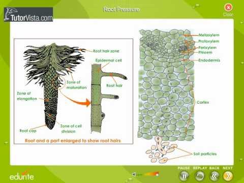 Root pressure 1