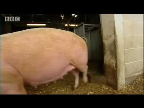 Pregnant pig computer hackers - Clever Critters - BBC Pets & Animals