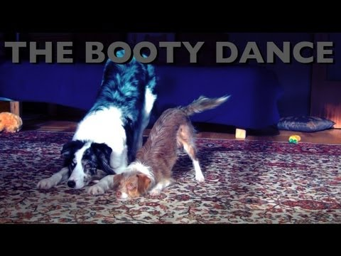 The booty dance- dog training tricks