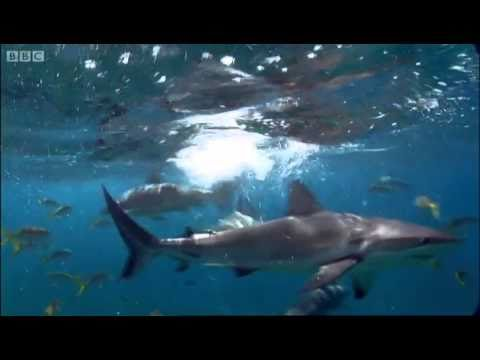 Shark repellent experiment - Oceans - BBC