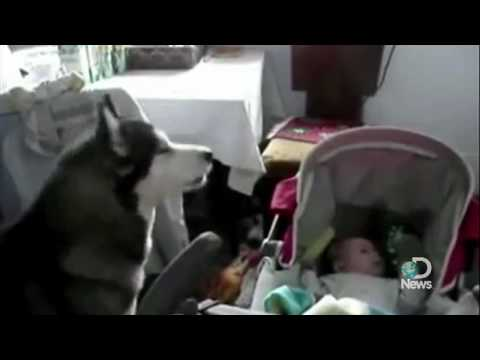 Wolf Dog Sings To A Baby To Stop His Cry Explained