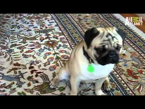 Puppies vs. Babies - Confused Pugs