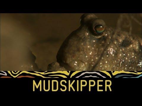 Weird creatures: Fish 'walks' on land