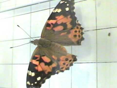 Wing Color, Painted Lady Butterfly