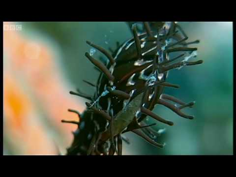 Underwater masters of disguise - Wild Indonesia - BBC