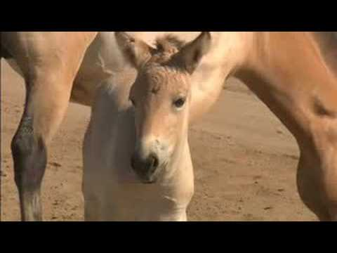 RARE HORSES BORN AT SAN DIEGO ZOO'S WILD ANIMAL PARK