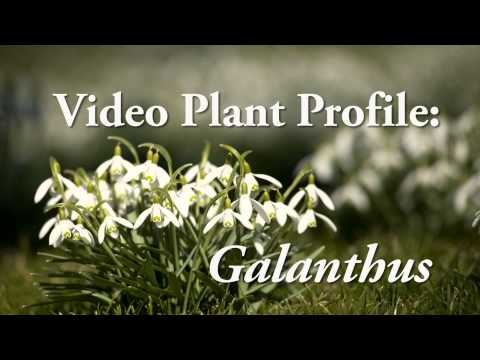 Video Plant Profile with Jon Peter — Galanthus
