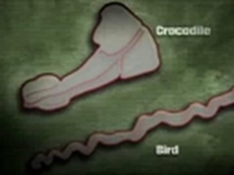 Tyrannosaurus Sex: Dino Sex Organs