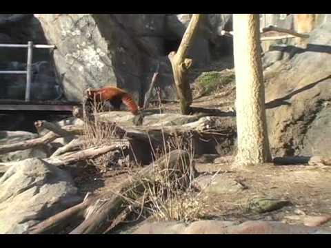 New Red Panda at the National Zoo