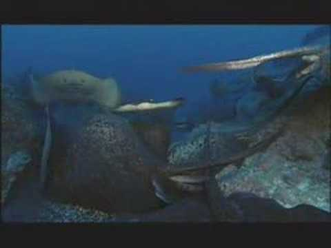 NATURE   Shark Mountain   The Dance of Marbled Rays   PBS
