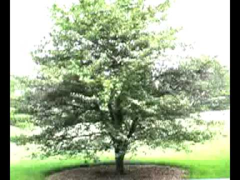 THE HAWTHORN TREE - what to look for - AV