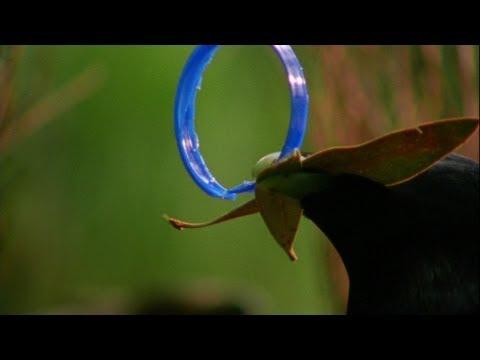World's Weirdest - Bowerbird Woos Female with Ring