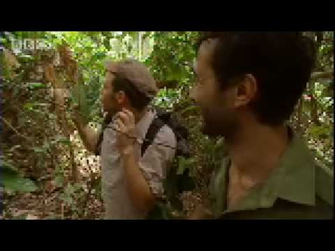 Will Young's close encounter with a wild Gorilla - Saving Planet Earth - BBC