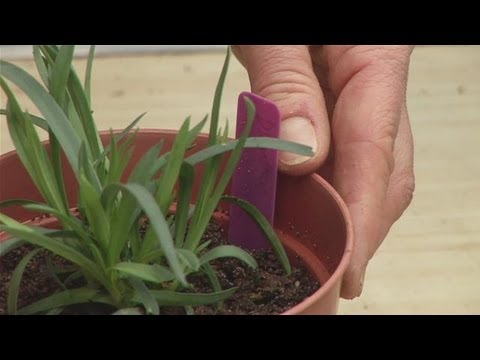 Guide To Transplanting A Dianthus