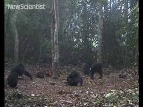 Chimps carry corpses