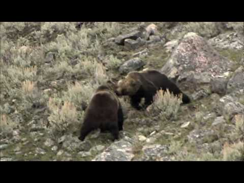 NATURE | Clash: Encounters of Bears and Wolves | Preview | PBS