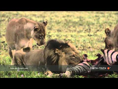 Lions feast on a zebra
