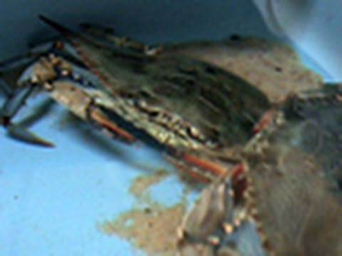 Oil Inside Gulf Crabs May Be Shed