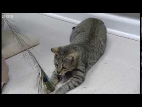 Wild cat mothered by a domestic cat! - Making Animal Babies - BBC