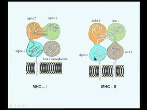 Mod-10 Lec-20 The major histocompatibility complex --Part 2