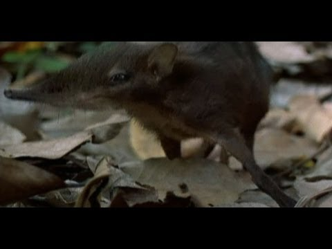 Meet the Giant Elephant Shrew