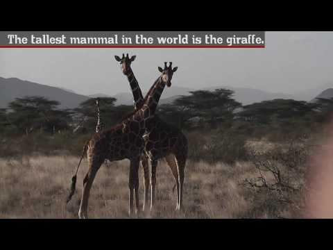 Giraffe - Fun Facts