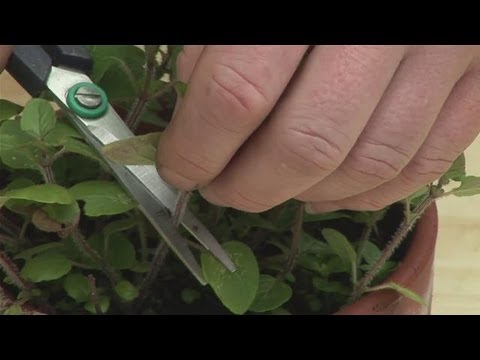 Guide To Pruning Marjoram