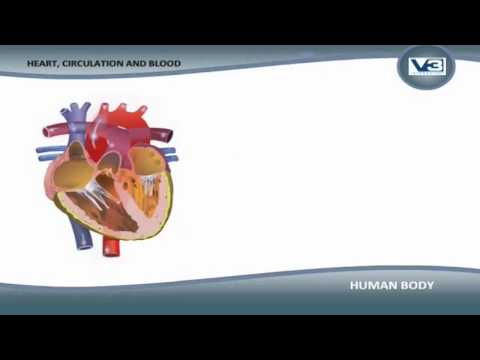 KidRhymes - Human Body Heart, Circulation and Blood