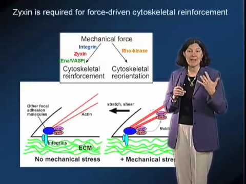 Mary Beckerle (University of Utah) Part 3: Focal Adhesions as Stress Sensors