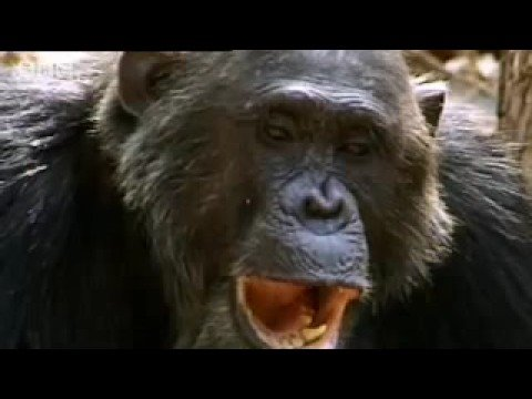 Smash and grab chimps - Apes in Danger - BBC wildlife