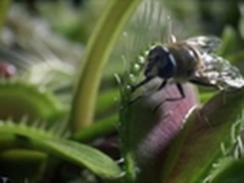 Life - Venus Flytrap Catches Flies   Plants