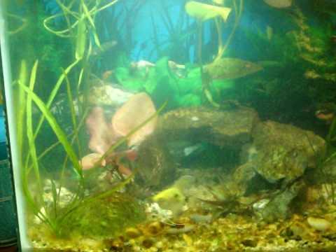 wayne's angelfish week 3