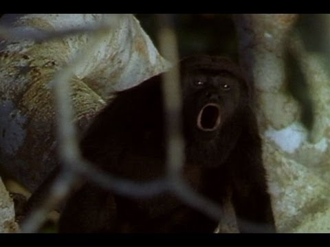 World's Loudest Animals: Howler Monkeys