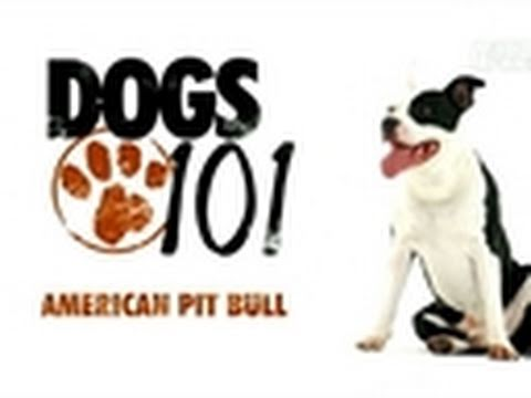 Dogs 101- American Pit Bull