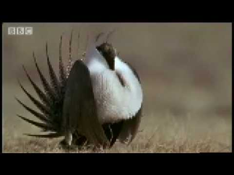 Mate selection: How animals fight disease - Battle of the Animal Sexes - BBC Wildlife